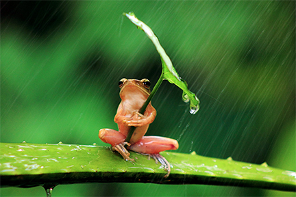 Frog-with-leaf-umbrella