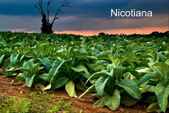 nicotiana-tobacco-plant-screenshot-from-2017-01-24-195735
